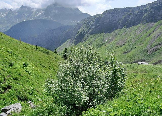 baumgrenze alpen